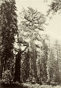 the grizzly giant, 33 feet in diameter, nearly 300 feet high, mariposa grove, cal. yosemite, cal by isaiah west taber