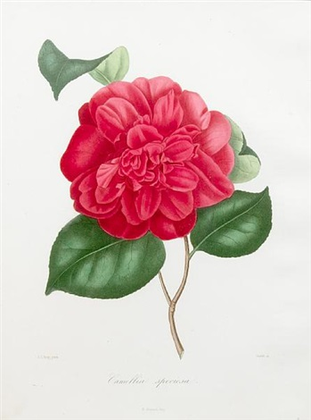 camellias (8 works) by abbé laurent berlese