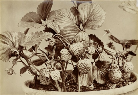still life with garden strawberries by fratelli alinari