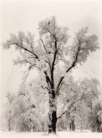 oaktree snowstorm by ansel adams