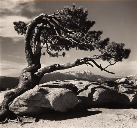 jeffrey pine sentinel dome yosemite national park by ansel adams