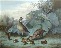 a family of quails (from upland birds & waterfowl of the united states) by alexander pope