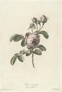 studie einer tulpe (tulipe des jardins tulipa gesneriana), pl. 4 by gérard van spaendonck