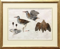 studies of a water rail drawn at aberdaron by mildred eldridge