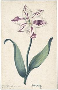 studie einer viceroy tulpe by zacharias blyhooft