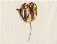 zwei papageientulpen genannt bizard koningklyken standaer und bizard artabanus (2 works) by cornelis van noorde