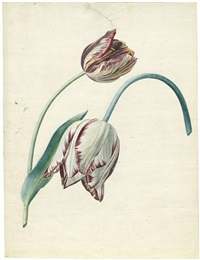 studie von zwei tulpen (study) (+ tulpenstudie , verso) by gérard van spaendonck