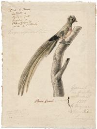 quetzal (pharomachrus mocino) by alexander von humboldt