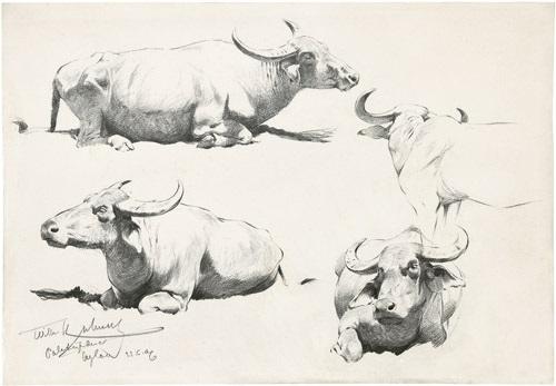 studienblatt mit vier ruhenden indischen wasserbüffeln by wilhelm friedrich kuhnert