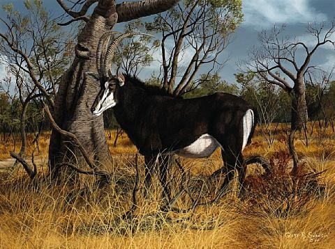 sable antelope by gary r swanson