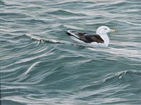 great black beaked gull (+ 3 others, various sizes; 4 works) by rob st. clair-mullen