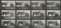animal locomotion plate 727: lioness walking, lion lying down by eadweard muybridge