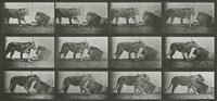 animal locomotion plate 727: lioness walking, lion lying down by eadweard muybridge