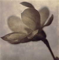magnolia (profile) by thomas brummett