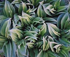 green veratrum, alaska by christopher burkett