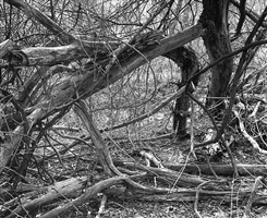 thicket i by lawrence beck