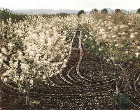 'cherry trees blossoming,' sparanise, italy by virginia beahan & laura mcphee