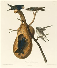 purple martin by john james audubon