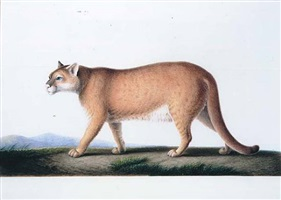 cougar américain by nicolas huet ii