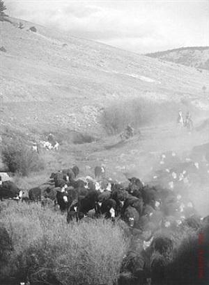 cattle drive #25 by allen birnbach