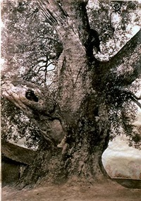 village tree, 1000 yrs. old, vietnam by meridel rubenstein