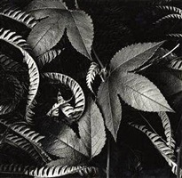 ivy and leaves, hawaii by brett weston