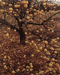 frostbitten apples, tesuque, new mexico, november 21 by eliot porter