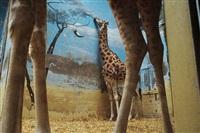 giraffes, paris by rebecca norris webb