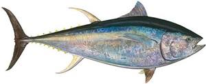 giant bluefin tuna by james prosek