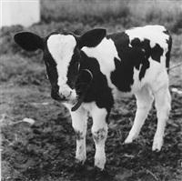calf, hyrkin farm by peter hujar