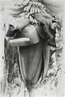 banana blossom, bermuda by marjorie content