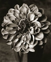 dahlia by tom baril