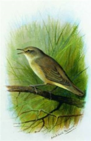 reed warbler by archibald thorburn