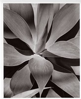 agave attenuata by horst p. horst