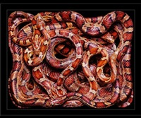 elaphe guttata by guido mocafico