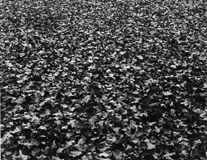 leaves, chicago by harry callahan