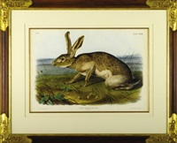 texan hare (pl.cxxxiii from the quadrupeds of north america) by john woodhouse audubon