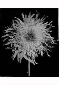 sunflower # 2 by hiromitsu morimoto