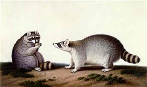 male and female anglo-american raccoons by nicolas huet ii