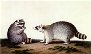 male and female anglo-american raccoons by nicolas huet