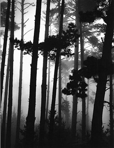 monterey pine and fog by brett weston