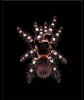 acanthoscurria geniculata by guido mocafico
