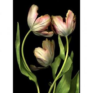 peach tulip trio by tulla booth