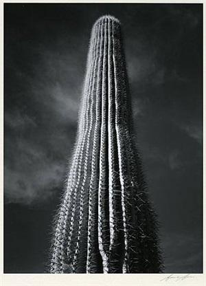 saguaro cactus, sunrise, arizona by ansel adams