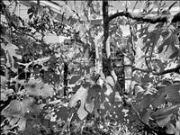 fig tree by joel leivick