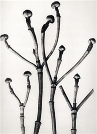cornus florida, (flowering dogwood shoots) by karl blossfeldt