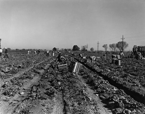 lettuce field, imperial valley by dorothea lange