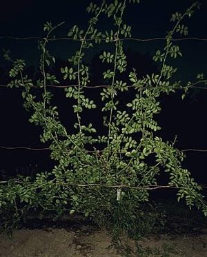 colony (rose gardens) (i) by sarah jones