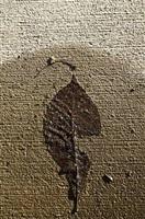 wet leaf by simon schaffer-goldman