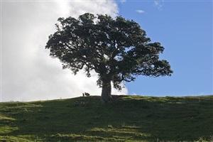 pohutukawa tree by simon schaffer-goldman